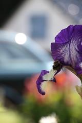 Spring @home (dididumm) Tags: home spring sunshine car flower surpriseflower bee purple purpur lila iris biene blume überraschungsblume auto sonnenschein frühling zuhause