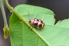 Phenrica sp., a Flea Beetle (Allan Hopkins) Tags: fazendasãonicolau matogrosso brazil southernamazon allanhopkins hoppy1951 chrysomelidleafbeetle fleabeetle alticini galerucinae chrysomelidae coleoptera phenricasp