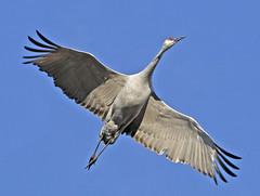 Sandhill Crane (Antigone canadensis) (Ron Wolf) Tags: antigonecanadensis bosquedelapachenwr gruidae gruiformes gruscanadensis sandhillcrane adult bird flight nature wildlife socorrocounty newmexico
