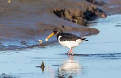 Oyster Catcher (Steve (Hooky) Waddingham) Tags: animal countryside coast bird british nature northumberland flight wild wildlife wader photography