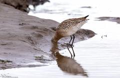 Head in the sand (Steve (Hooky) Waddingham) Tags: animal wild wildlife wader bird british red