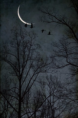 Geese fly by the crescent moon. (jeanne.marie.) Tags: flying canadiangeese morning blue trees sky moon flight silhouettes treescape tulippoplar crescentmoon winter blackandwhiteandblue