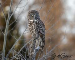 If looks Could Kill... (DTT67) Tags: canon wildlife nature minnesota sax zim bog saxzimbog ggo great gray owl greatgrayowl