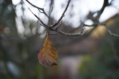 DSC02567 (Lens Lab) Tags: sony a7r plants garden tree leaves branches magnolia canonfl 55mm f12