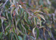DSC02576 (Lens Lab) Tags: sony a7r plants garden tree leaves branches weepingcherry canonfl 55mm f12