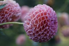 Dahlia (sandro349) Tags: leica leitz elmarit macro villa taranto verbania dahlia flower fiori garden giardino