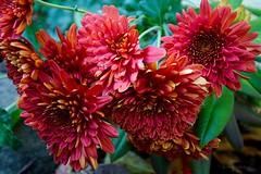 Chrysanthemum (galterrashulc) Tags: chrysanthemum kundziņsala rīga latvia riga latvija lettland flowers autumn nature flora green red nikon d3200 1200 2400 mm f40 irina galitskaya galterrashulc