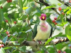 Jambu Fruit Dove (ChongBT) Tags: nature natural wild life wildlife animal bird avian ornithology watching birdwatching malaysia olympus jambu fruit dove pigeon ptilinopus adult male