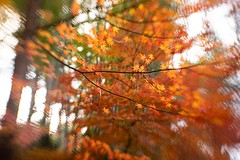 one day , on my walk (sshusaku) Tags: autumn orange red autumnleaves yellow woods botanical sol45 lensbaby tree
