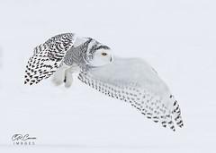 Snowy Owl (CR Courson) Tags: buboscandiacusnycteascandiaca owls snowyowl strigidae birds birdphotography birdsinflight raptors birdsofprey crcourson chuckcourson