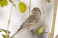House Finch (jt893x) Tags: 150600mm bird d500 female finch haemorhousmexicanus housefinch jt893x nikon nikond500 sigma sigma150600mmf563dgoshsms songbird