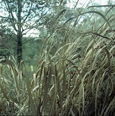 015 2020-01-15 (kccornell) Tags: 2020 366 365 120 6x6 medium format film hasselblad 500c kodak portra 400 blue stem grass native plant pollinator garden prairie lafayette louisiana