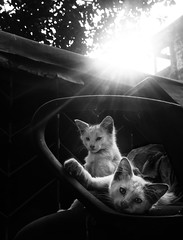 (sharmi_diya06) Tags: street streetphotography streetphot cat animal evening light shadows nature letsexplore outside natgeoyourshot natgeophotographers natgeophotographer yourshotnatgeo