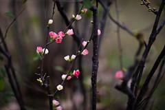 Chaenomeles speciosa (Jim Mayes) Tags: canon eos digital 85mm ef ef85mmf12lusm 大阪市立長居植物園