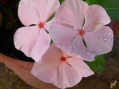 P1050908 (amalia_mar) Tags: vinca flowers flora fiori fleurs pink pinkpurplewednesday garden nature colorfulnature drops details sundaylights