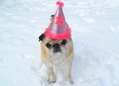 Happy Birthday Sweet Sixteen! (DaPuglet) Tags: pug pugs dog dogs animal animals pet pets birthday sweetsixteen sixteen senior seniorpug celebrate celebration party partyhat hat 16 love friendship friend snow happybirthday cute carlin chien fête anniversaire happy carlino mops coth5