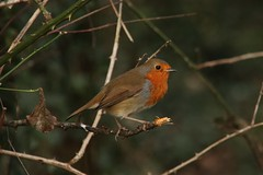 Robin in  The Park Today (janpaulkelly) Tags: robin park nature wildlife birds outside biodiversity dublin ireland closeup
