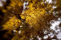 one day , on my walk (sshusaku) Tags: autumn botanical sol45 lensbaby autumnleaves orange yellow woods tree red