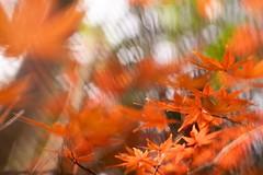 one day , on my walk (sshusaku) Tags: autumn orange yellow woods botanical sol45 tree red autumnleaves lensbaby