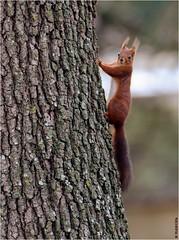 Hello ! (boblecram) Tags: sciurus vulgaris écureuil rongeur nature squirrel sauvage faune wild mammifère viesauvage