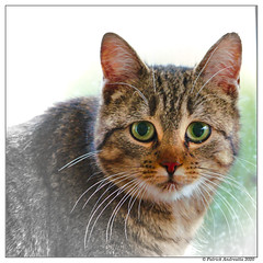 Regard de chasseuse. (Patabois) Tags: chat regard minouche