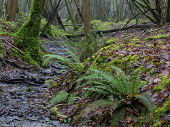 Down in the gully (Through Bri`s Lens) Tags: sussex ashurst spithandlelane woods ferns stream leafandstream moss brianspicer canon5dmk3 canon4020014isusm