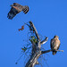 Red-shouldered hawk couple in the early morning light at the Venice Rookery, Venice, Florida
