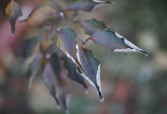 DSC02586 (Lens Lab) Tags: sony a7r plants garden tree leaves branches dogwood canonfl 55mm f12
