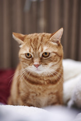 Z6__DSC1308_C1 (Bazoka+Cynthia) Tags: alpha cat 小婆 新北市 樹林區 貓