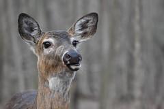 Say Cheese! (bensimms96) Tags: deer wildlife wildlifephotography wildlifephotos ontario outdoors woods forest whitetailed nikon nature naturephotos naturephotography