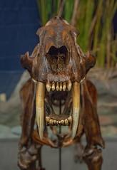DSC_4059.jpg (bobosh_t) Tags: boonshoftmuseum boonshoft naturalhistory museum
