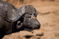 Wild African Buffalo (leendert3) Tags: leonmolenaar southafrica krugernationalpark wildlife wilderness wildanimal nature naturereserve naturalhabitat mammal capebuffalo ngc npc