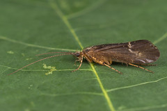 91339 (NakaRB) Tags: 2018 insecta trichoptera