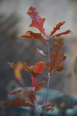 DSC02608 (Lens Lab) Tags: sony a7r plants garden komura 80mm f18 leaves