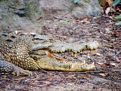 _1082534 (ps.mustang33) Tags: crocodiles crocodile reptile reptiles saltie saltwatercrocodile