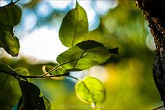 autumn mood (pajus79) Tags: nikon d80 nikkor autumn mood leaf leaves apple tree branch green bokeh fresh rich contrast light shadow shine sun