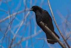 Corneille d'Amérique/Crow-_PM33289 (michel paquin2011) Tags: rouge corneille amérique parc angrignon passereau