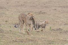 Kisaru (Tris Enticknap) Tags: africa cheetah kenya maranorthconservancy masaimara acinonyxjubatus bigcat