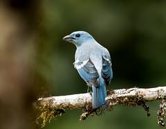 IMG_4297  Blue-gray Tanager, Ecuador (ashahmtl) Tags: bluegraytanager bird tanager songbird passerine thraupisepiscopus copalingalodge zamora easternslopeofandes chinchipeprovince ecuador