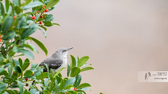 A sad looking Northern Mockingbird on a dull rainy morning (royalexpedition) Tags: nikond500 nikkor200500mmedvr northernmockingbird mockingbird houston texas ragavannatarajan ragavan ragavann