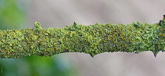 Xanthoria parietina on bramble (Alone again. Naturally.) Tags: lichen d7500