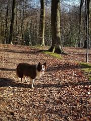 Tia (Ian, Bucks) Tags: dog canine collie outdoors woods woodland day daytime