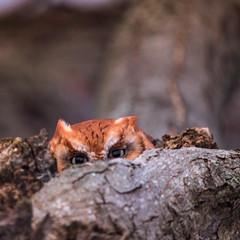 """Hey this is my tree"" (joshbosscher1) Tags: winter redmorpheasternscreechowl screechowl canada photography wild outdoor tree nature wildlife bird owl"