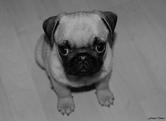 Ernest my pug !!! (François Tomasi) Tags: carlin pug chien animal monochrome blackandwhite noiretblanc 2020 françoistomasi tomasiphotography justedutalent groupejustedutalent yahoo google flickr lights light lumière iso nikon photo photographie photography photoshop digital numérique pointdevue pointofview pov