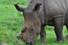 Kariega - Africa de Sud (morome7e) Tags: africa south animals wildlife safari elephant rhinocerous