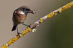 Tarabilla común (Saxicola rubicola). (Jorge Nubla) Tags: ave bebedero navarra oricain tarabillacomún verano