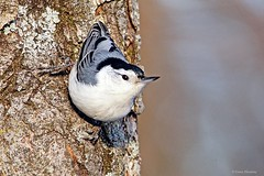 White-breasted Nuthatch (Anne Ahearne) Tags: wild bird animal nature wildlife closeup nuthatch cute songbird whitebreastednuthatch