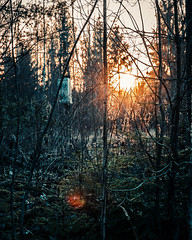 Warm rays is cold environment. (A.Koponen) Tags: canon eosr rf24105mmf40 nature suomi finland sunset forest trees january winter nowinter luonto