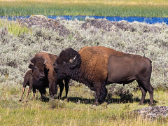 bison family (kleiner_eisbaer_75) Tags: bison family wildlife animal tiere yell yellowstone ynp nationalpark wyoming usa travel reie lamarvalley natur nature ngc
