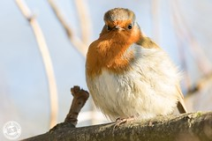 Robin - Erithacus rubecula (Lauren Tucker Photography) Tags: bird hamwall nature robin rspb somersetlevels wildlife erithacus rubecula canon slr camera markii 7d 100400mm copyright ©laurentuckerphotography photography photographer photograph photo image pic picture allrightsreserved 2020 colour wild mammal uk south west england macro closeup winter